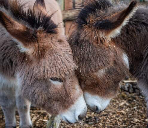 East London City Farms- Spitalfields Donkeys