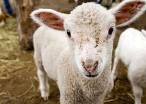 Cute baby lamb to remind you to Visit the animals at your local East London City Farm