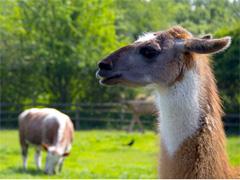 East London City farms- Mudchute Lamas